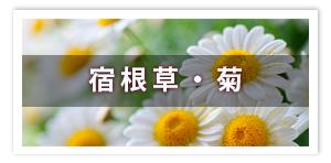 宿根草・菊
